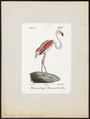 Phoenicopterus antiquorum - 1842-1848 - Print - Iconographia Zoologica - Special Collections University of Amsterdam - UBA01 IZ17600003.tif