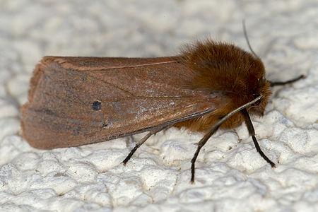 Phragmatobia fuliginosa, Lodz(Poland)02(js).jpg
