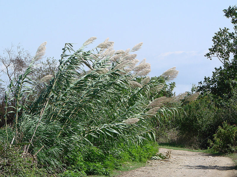 Source: https://en.wikipedia.org/wiki/Phragmites