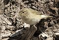 Phylloscopus trochilus - Willow Warbler, Adana 2017-01-15 07-2.jpg