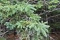 Picea glauca, Acadia National Park, ME IMG 2460.jpg