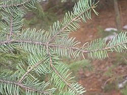Picea meyeri Brno2.JPG
