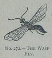 Picture Natural History - No 272 - The Wasp Fly.png