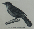 Picture Natural History - No 98 - The Nightingale.png