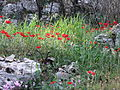 PikiWiki Israel 19238 Buttercups.JPG