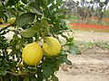 PikiWiki Israel 3594 Lemon & Anemone.jpg