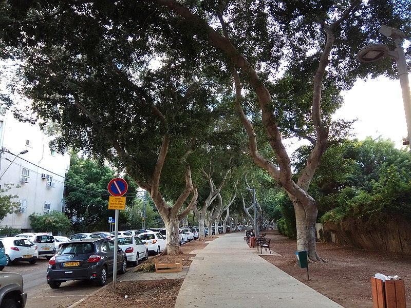 עצי פיקוס ברחוב דפנה בתל אביב