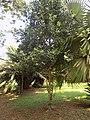 Pimenta Racemosa - Arbre.jpg
