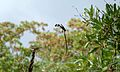 Pin-tailed Whydah (Vidua macroura) (5984766866).jpg