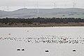Pink-eared Ducks (21036861982).jpg
