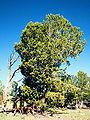 Pinus albicaulis Bolstad.jpg
