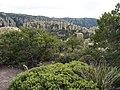 Pinus discolor - Arctostaphylos.jpg