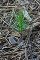 Pinus sylvestris 31.jpg
