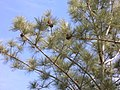 Pinus torreyana insularis foliage.jpg