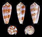 Pionoconus circumcisus 01.JPG