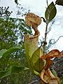 Pitcher Plant (Nepenthes rafflesiana) (8437166933).jpg