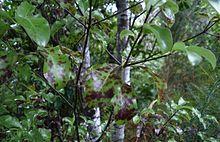 Pittosporum tenuifolium Abbotsbury Gold-Nouvelle-Zélande Pittosporum plant in 9 cm