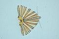 Pityeja histrionaria (Geometer moth sp) 2015-06-12 (2) (38541838110).jpg
