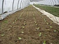 Planche Lactuca sativa.jpg