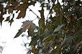 Platanus × acerifolia - Platan (1s).jpg