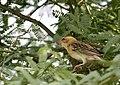 Ploceus philippinus -Ahmedabad, Gujerat, India -female-8.jpg