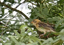 Ploceus philippinus -Ahmedabad, Gujerat, India -female-8.jpg