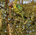 Plum-headed Parakeet (Psittacula cyanocephala) feeding on Acacia nilotica W IMG 4501.jpg