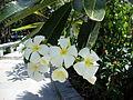 Plumeria rubra (5).JPG