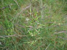 Bulbous Meadow-grass (Poa bulbosa)