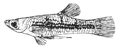 Poeciliids (cropped).png
