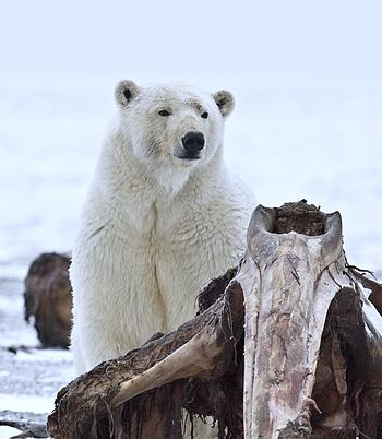 Polar Bear (Sow), Arctic National Wildlife Ref...