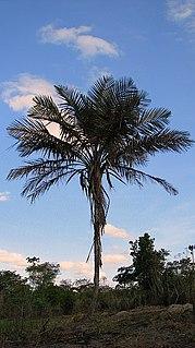 <i>Allagoptera caudescens</i> Species of palm