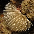 Polychaete worm I presume at Ponta do Ouro, Mozambique (36250150480).jpg