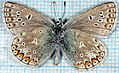 Polyommatus icarus-mu.jpg