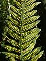 Polypodium vulgare 200907.jpg