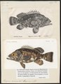 Polyprion cernium - - Print - Iconographia Zoologica - Special Collections University of Amsterdam - UBA01 IZ12900255.tif