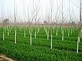 Poplars - panoramio (4).jpg