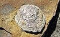 Possible Bergaueria (Vinton Member, Logan Formation, Lower Mississippian; Route 16 roadcut northeast of Frazeysburg, Ohio, USA) 2 (39925616594).jpg