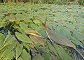 Potamogeton nodosus kz06.jpg