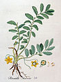 Potentilla anserina — Flora Batava — Volume v4.jpg