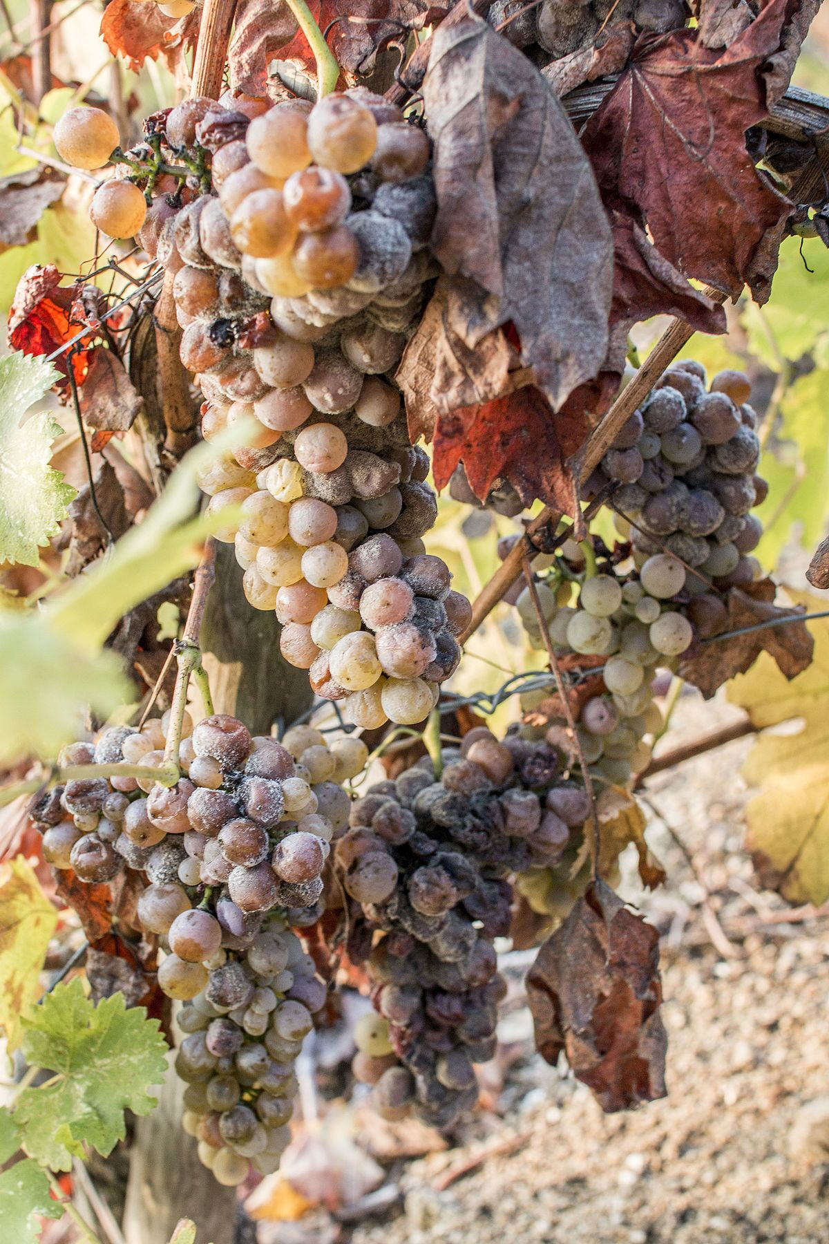Pourriture noble wikip dia - Maladie du raisin photo ...