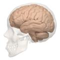 Primary fissure of cerebellum - 04.png