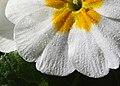 Primula white (3263927905).jpg