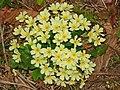Primulaceae - Primula vulgaris (8303630901).jpg