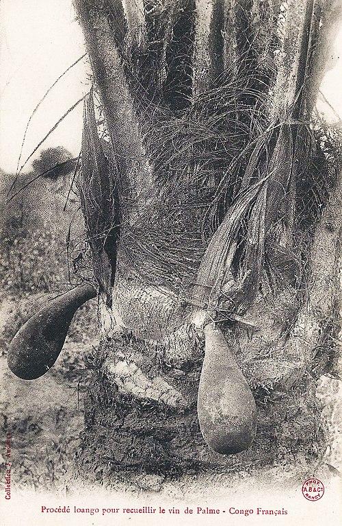 fichier:procédé loango pour récolter le vin de palme (congo français