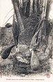 Procédé loango pour récolter le vin de palme (Congo Français).jpg