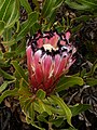 Protea neriifolia Potberg 03.jpg