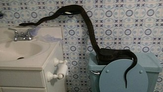 Nuisance wildlife management - Puerto Rican Boa came through toilet