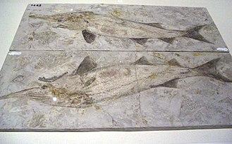 Paddlefish - Protopsephurus liui fossils