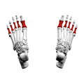 Proximal phalanges of foot06 superior view.png